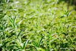 Mentha longifolia C